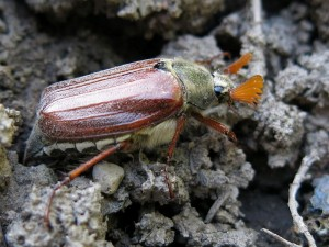Male Common Cockchafer