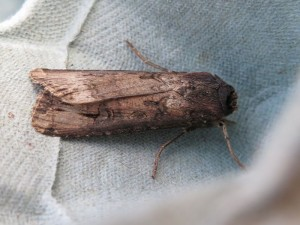 Dark Sword-grass moth